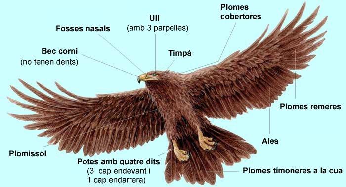 Característiques de les aus