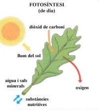 La fotosíntesi dels vegetals