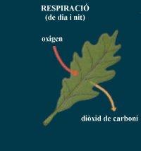 respiracio planta