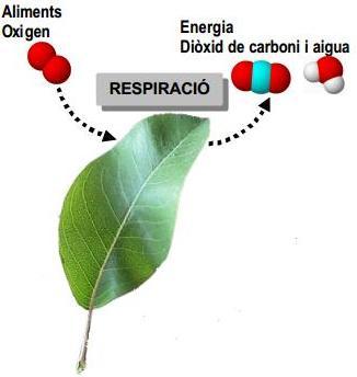 La respiració dels vegetals