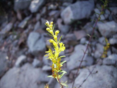 La fonollada groga (Odontides lutea) és una planta semiparàsita