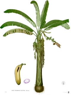 Bananer i el seu fruit