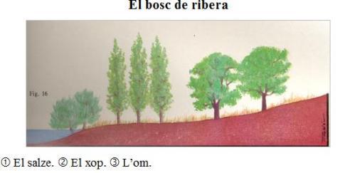 Bosc de ribera. Els arbres es troben segons la humitat que necessiten. De la riba a l'interior: el salze, el xop i l'om.