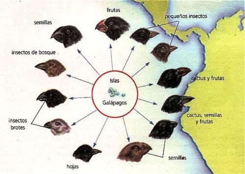 Una única espècie de pinsà va donar lloc a diferent espècies de pinsans a les Illes Galápagos