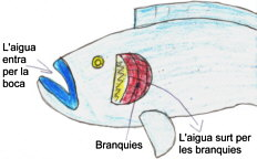 Clica la imatge i comprendreu com respira un peix