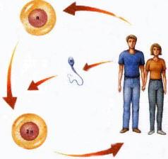 Reproducció sexual