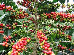 Llavors de la planta del cafè en diversos estadis de maduresa.